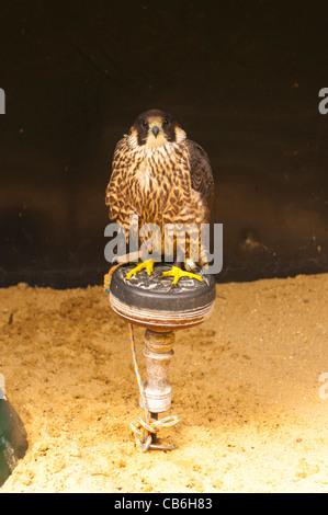 A Peregrine Falcon ( Falco peregrinus ) in captivity in the Uk - Stock Photo