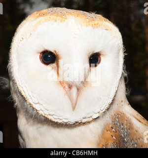 A captive Barn Owl ( Tyto alba ) in the Uk