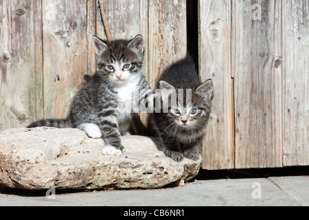 Kittens, two sitting alert in front of garden shed, Lower Saxony, Germany - Stock Photo