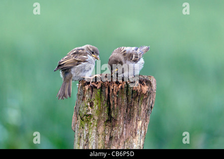 House Sparrow (Passer domesticus), two feldgelings on fence post, Lower Saxony, Germany - Stock Photo