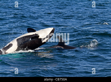 Orca (Orcinus orca) - Stock Photo