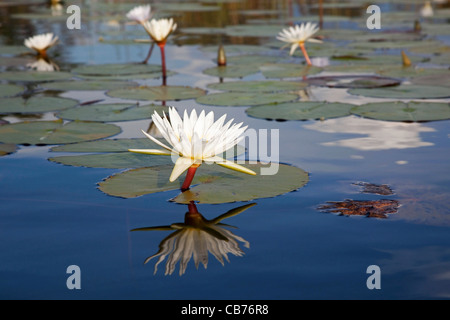 White water lilies on lake in the Okavango Delta, Botswana, Africa - Stock Photo