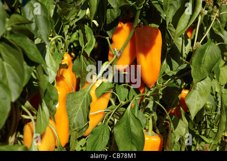 Orange bell pepper in a organic garden in the summer - Stock Photo
