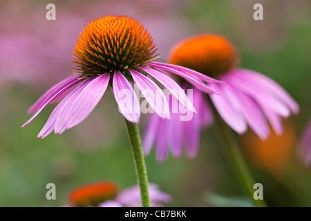 Purple Coneflowers, Echinacea purpurea - Stock Photo