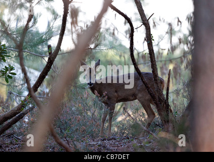 A young wild roe buck (Capreolus capreolus) in the undergrowth (Hossegor - France). Jeune chevreuil dans le sous - Stock Photo