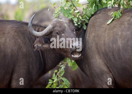 Portrait of an African or Cape buffalo (Syncerus caffer) cow in the Kruger National Park, South Africa. - Stock Photo