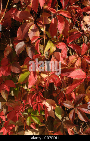 A Virginia creeper (Parthenocissus quinquefolia) in red autumn colour on a Cotswold stone wall - Stock Photo