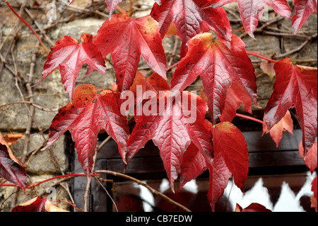 Boston ivy (Parthenocissus tricuspidata) foliage on stone barn wall turning red in autumn