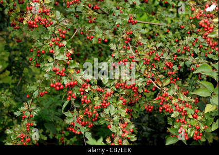 A large number of ripe red hawthorn or may berries (Crataegus monogyna) on the tree - Stock Photo