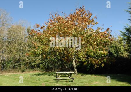 Red oak (Quercus rubra) tree in autumn colour on fine day, Devon - Stock Photo