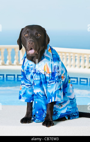 Chocolate Labrador on Vacation - Stock Photo