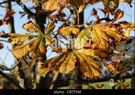 Horse chestnut (Aesculus hippocastanum) leaves in autumn colour - Stock Photo
