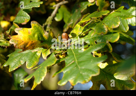 Green leaves and brown acorn on the tree in autumn - Stock Photo