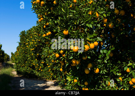 Orange groves near Haines City in Central Florida, USA - Stock Photo