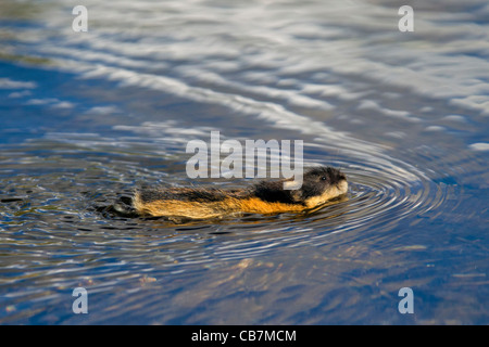 Norway lemming (Lemmus lemmus) swimming across river, Lapland, Sweden - Stock Photo