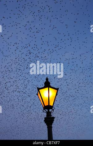 flock of starlings flying in murmuration over lamp on albert bridge belfast northern ireland uk - Stock Photo