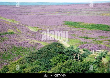 Walker on path north out of the Hole of Horcum over heather covered Goathland Moor in North York Moors National - Stock Photo