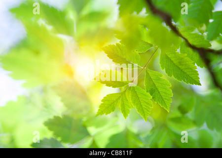 Sunlight through the Leaves - Stock Photo