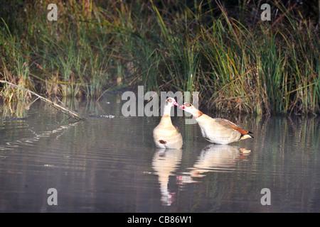 Egyptian goose - Nil goose (Alopochen aegyptiacus - Alopochen aegyptiaca) invasive species pair standing in shallow - Stock Photo