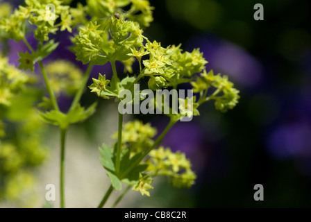 Tiny starry pale green flowers open on an Alchemilla mollis or Lady's Mantle - Stock Photo