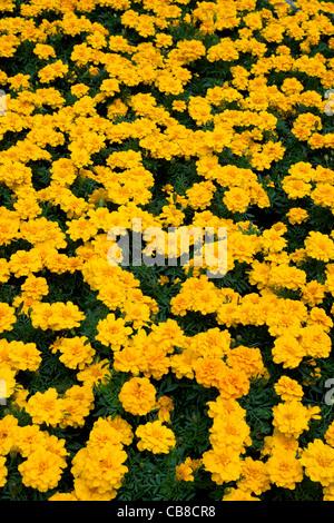 Yellow French Marigold flowers - Stock Photo