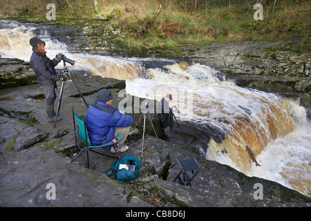 Photographers photographing wild Atlantic Salmon, Salmo salar leaping upstream on the River Ribble, Stainforth, - Stock Photo