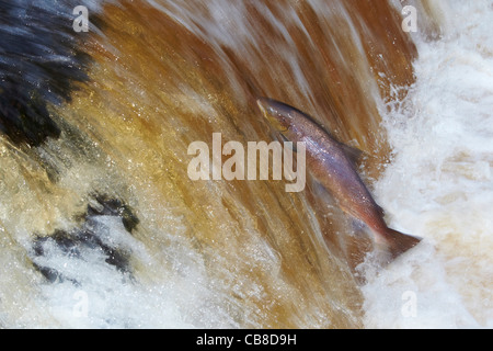 Wild Atlantic Salmon, Salmo salar leaping upstream on the River Ribble, Stainforth, Yorkshire Dales, UK - Stock Photo