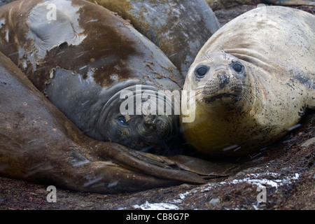 Southern elephant seals (Mirounga leonina) resting on rocky shore on Barrientos Island, South Shetland Islands, - Stock Photo