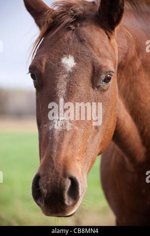 Horse portrait - seen on the farm in Wisconsin - Stock Photo
