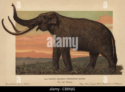Woolly mammoth, Mammuthus primigenius. - Stock Photo