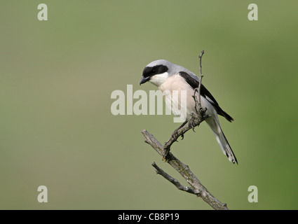 Lesser Grey Shrike (Lanius minor) - Stock Photo