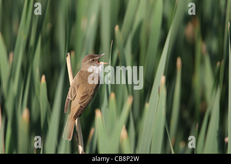 Great Reed Warbler, /Acrocephalus arundinaceus/ - Stock Photo