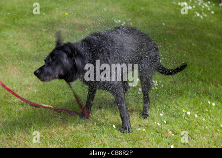 Black labrador dog shaking itself dry after getting a bath - Stock Photo
