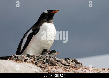 Gentoo Penguin (Pygoscelis papua) with chicks on nest in rookery at colony on Petermann Island, Antarctica - Stock Photo