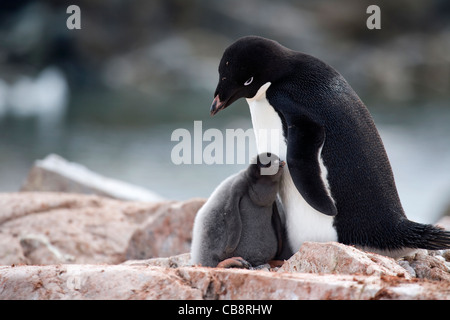 Adélie Penguin (Pygoscelis adeliae) with chick on nest in rookery at colony, Petermann Island, Antarctica - Stock Photo