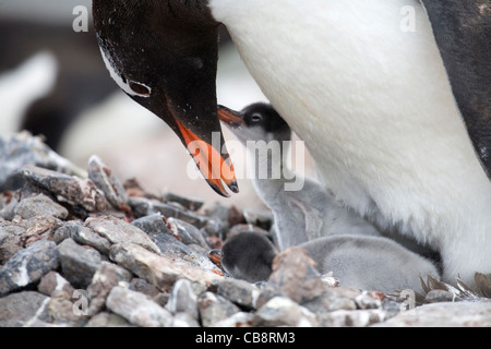 Gentoo Penguin (Pygoscelis papua) with chicks on nest in rookery at Port Lockroy, Antarctica - Stock Photo