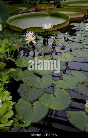 Water plants in the Conservatory, Botanic Gardens, University of Oxford, UK - Stock Photo
