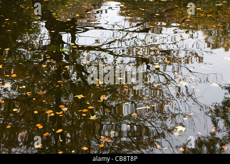 Tree Reflected in Pond with Floating Autumnal Leaves - Stock Photo