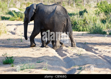 Family of African elephants (loxodonta africana) with the mother shielding her baby from the perceived danger whilst - Stock Photo
