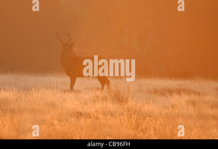 Red Deer (Cervus Elaphus) stag at sunrise - Stock Photo