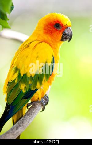 Sun Parakeet or Sun Conure ( Aratinga solstitialis ) - Stock Photo
