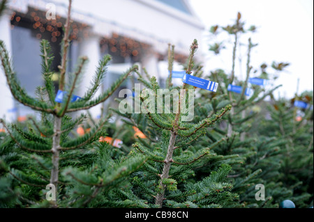 Ravishing Christmas Trees For Sale At Brighton Garden Centre Uk Stock Photo  With Fair Christmas Trees For Sale At Brighton Garden Centre Uk  Stock Photo With Agreeable Garden Fire Pits Also Garden Fields Cricket Club In Addition Gastro Pub Covent Garden And Garden Chess Pieces As Well As Garden Tray Additionally Garden Tours From Alamycom With   Fair Christmas Trees For Sale At Brighton Garden Centre Uk Stock Photo  With Agreeable Christmas Trees For Sale At Brighton Garden Centre Uk  Stock Photo And Ravishing Garden Fire Pits Also Garden Fields Cricket Club In Addition Gastro Pub Covent Garden From Alamycom