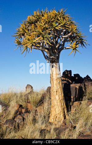Quivertrees in bloom at Garas Quiver Tree Park, Gariganus Farm, Namibia - Stock Photo