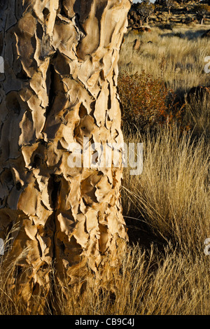 Closeup of trunk of quivertree, Namibia - Stock Photo