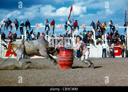 A rodeo clown is ready to hide in his red escape barrel to avoid the charge of a Brahman bull during the Calgary - Stock Photo