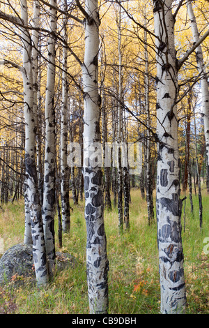 White bark of aspen trees growing in a grassy meadow in autumn at Rocky Mountain National Park in Colorado