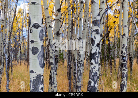 Closeup of white bark of aspen trees growing in a meadow in autumn at Rocky Mountain National Park in Colorado