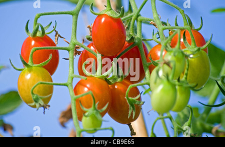 Close up of 'Santa' baby plum tomatoes growing on the vine in garden greenhouse, Cumbria, England , UK - Stock Photo