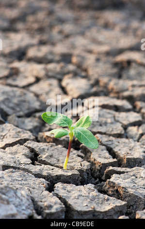 Plant seedling growing the the dry cracked earth in india - Stock Photo