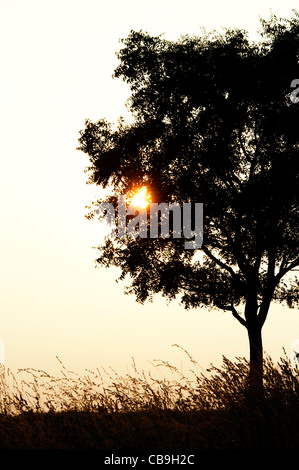 Indian tree and grasses in the countryside at sunset. Andhra Pradesh, India. Silhouette - Stock Photo
